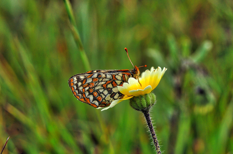 Bay Checkerspot butterfly