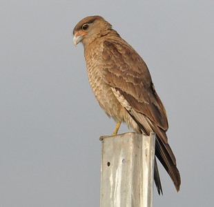Santiago Airport birds