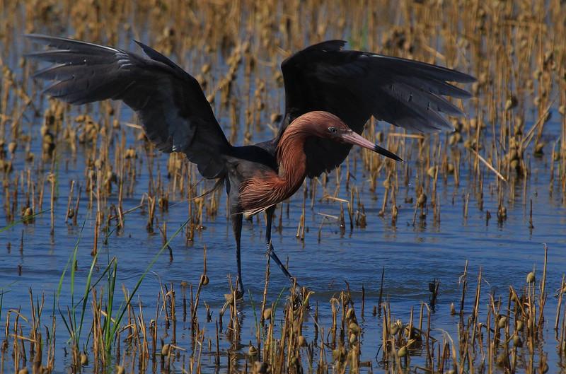 ZZReddish Egrets, Galveston 6-7-13 649 LTROOM  SMALL.jpg