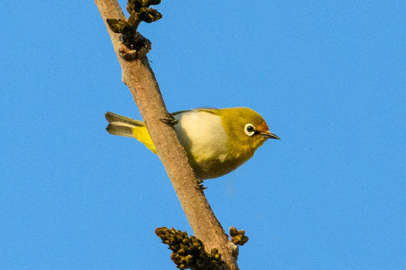 An Oriental White-eye in Bandghavgarh NP
