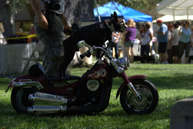 boston terrier oct 2010 190.jpg