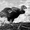 Condor 75 _ bw