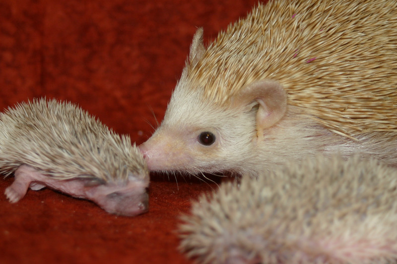 Litter - SCSI and Orianna (02/03/2005)  Litter - SCSI and Orianna (02/03/2005)  Filename reference: 20050214-232607-HAH-Hedgehog_Babies