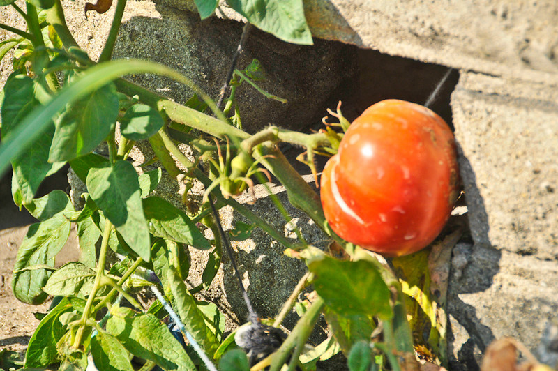 10 09-07 It was difficult for Linda to resist picking one of the ripe tomatoes right off the vine.  mlj