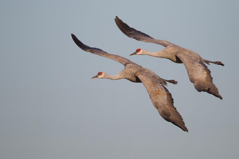 Sandhill Cranes in flight - Lodi, CA, USA