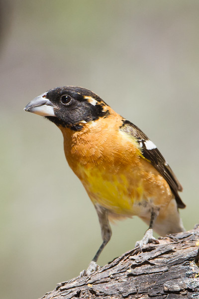Black-headed Grosbeak - Ash Canyon B&B, Hereford, AZ, USA