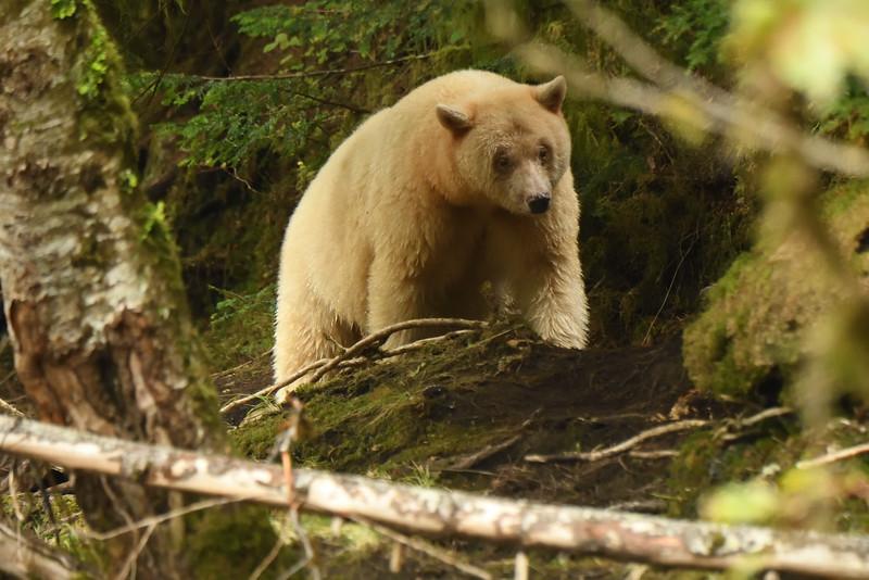 Spirit Bear on the trail