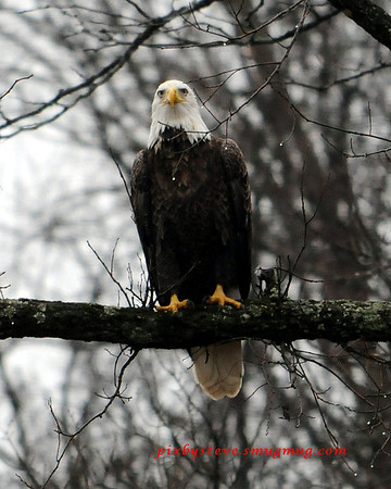 Bald Eagle Proctorville Ohio
