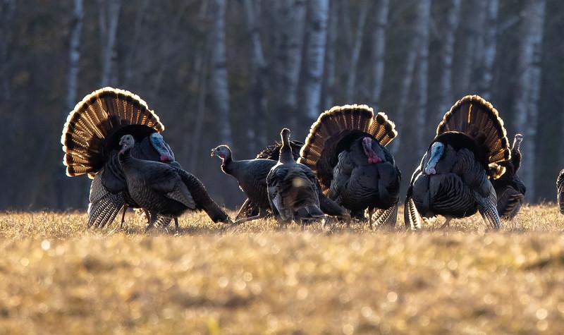 Wild Turkey flock displaying male toms courtship Skogstjarna Carlton County MN  IMGC5738.jpg