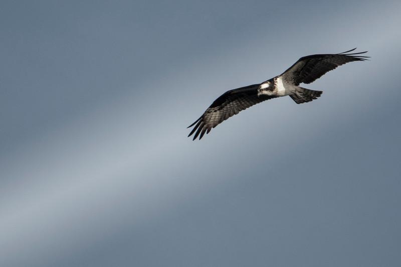 4.10.19 - Beaver Lake: Osprey