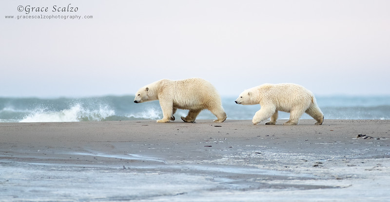 PolarMomandCubalongArcticOcean_S249541.jpg