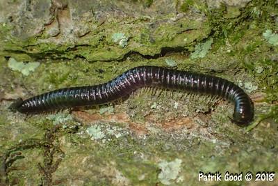 Gemeiner Feldschnurfüssler (Cylindroiulus caeruleocinctus)