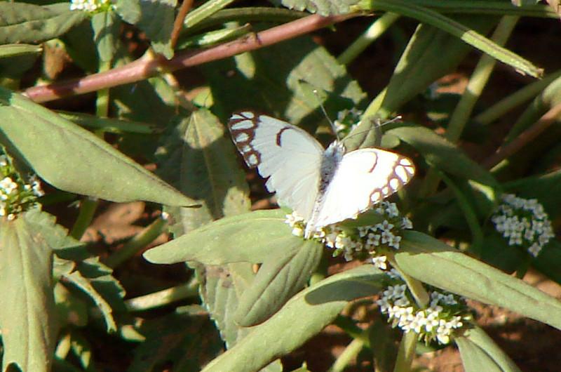 Belenois aurota (Caper White) 68.