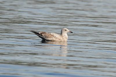 Unknown Gulls