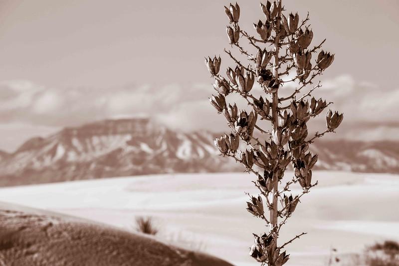 Christmas Yucca