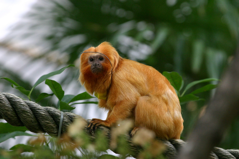 Golden Lion-Faced Monkey