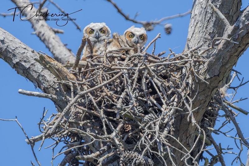 Great Horned Owl Chicks Two.jpg