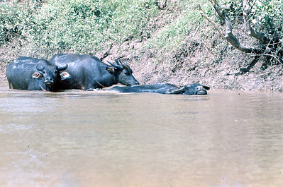 Buffalo in Mekong River