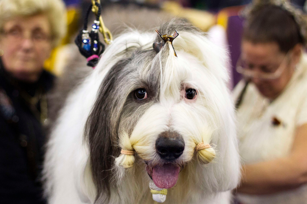 Description of . An Old English Sheepdog waits to be groomed in the staging area of the 137th Westminster Kennel Club Dog Show in New York, February 11, 2013. More than 2,700 prized dogs will be on display at the annual canine competition. Two new breeds, the Russell terrier and the Treeing Walker coonhound, will be introduced in the contest. REUTERS/Lucas Jackson