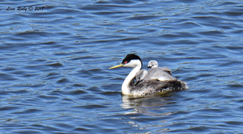 Western Grebes adult and two babies - 6/14/2017 - Lake Hodges Pedestrian Bridge