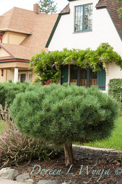 Pinus mugo_022.jpg