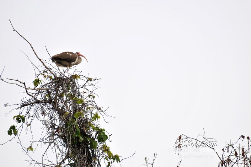 Immature IBIS in the Florida Everglades