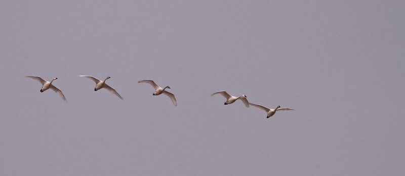 2011 swan migration aylmer (41 of 51).jpg