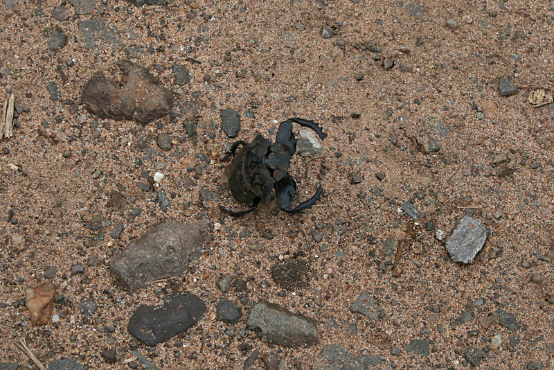 I almost stepped on this guy on our walk back from the falls to the hotel one afternoon.  Turns out the Dung Beetle doesn't usually bite humans but he sure took on an attack stance just in case.  It worked, I kept my distance!