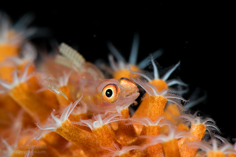 whip coral goby (1 of 1).jpg