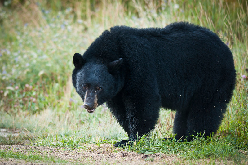 Black Bear Banff National Park Lake Louise, Alberta, Canada © 2011