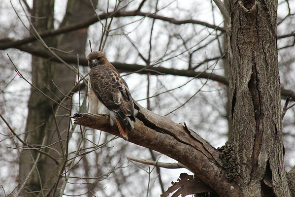 Red Tailed Hawk 2011-03-04