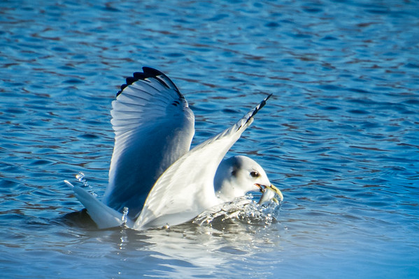 Black-legged Kittiwake Fishing