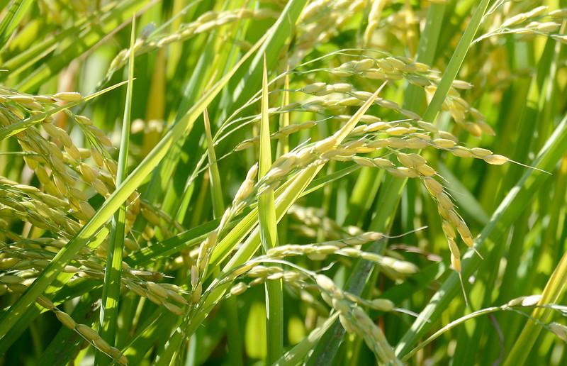 A rice field in Butte County, California Friday Aug. 31, 2018.  (Bill Husa -- Enterprise-Record)