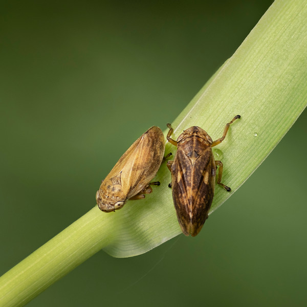 Common Froghoppers