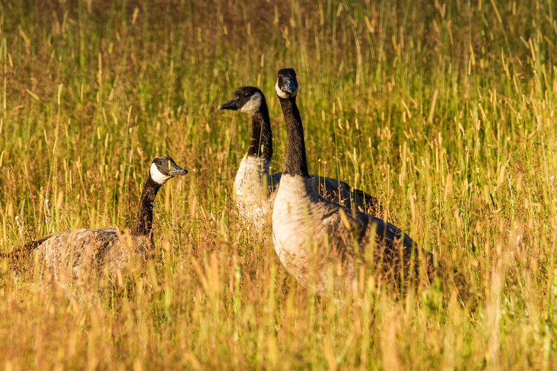 Geese by the Madison River