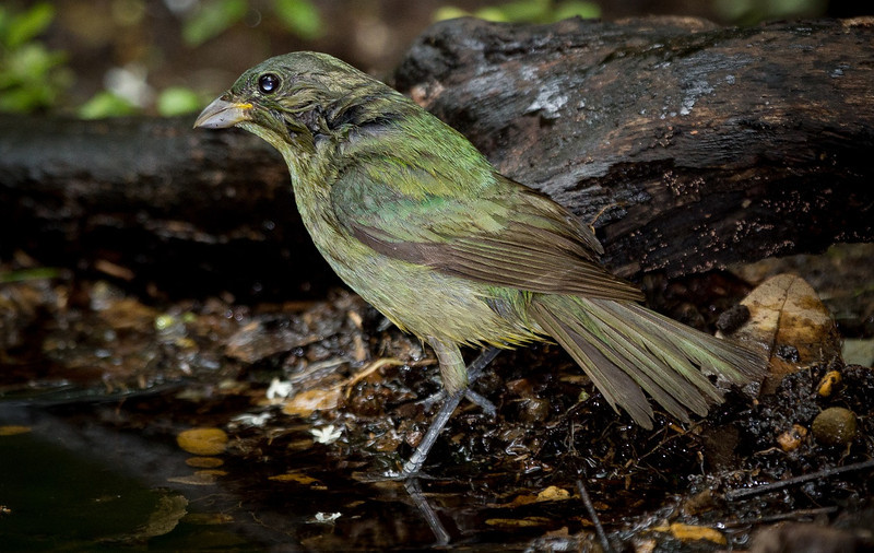 Wet Painted Bunting female.