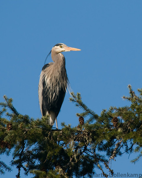 Great Blue Heron, waiting for me to go inside so it can eat some goldfish out of the pond.