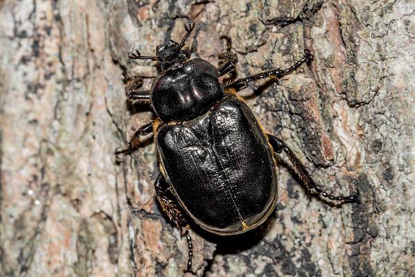 Scarab beetles (Scarabaeidae)