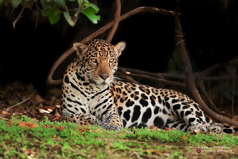 jaguar_jllab-3.jpg