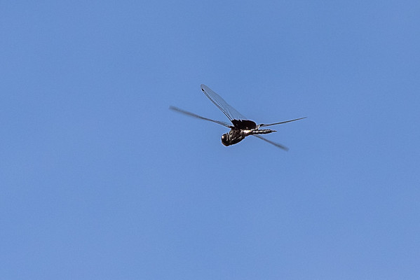 2016. Dragonfly on the wing.  Lake Murray.