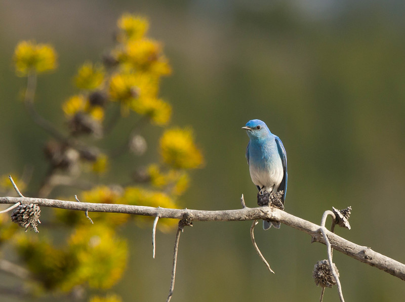 Mountain Bluebird Yellowstone-6085.jpg