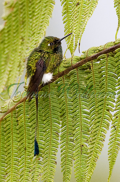 Booted racquet-tail .jpg