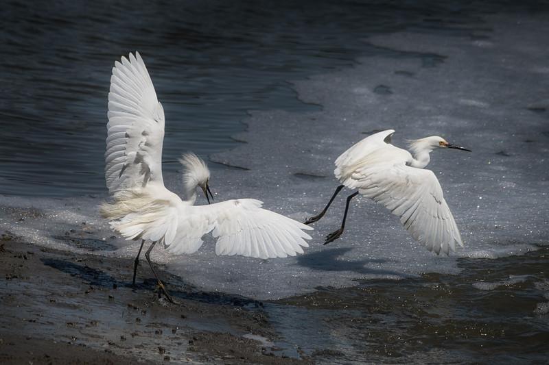 Egrets-cropped-CC_DSC5000.jpg