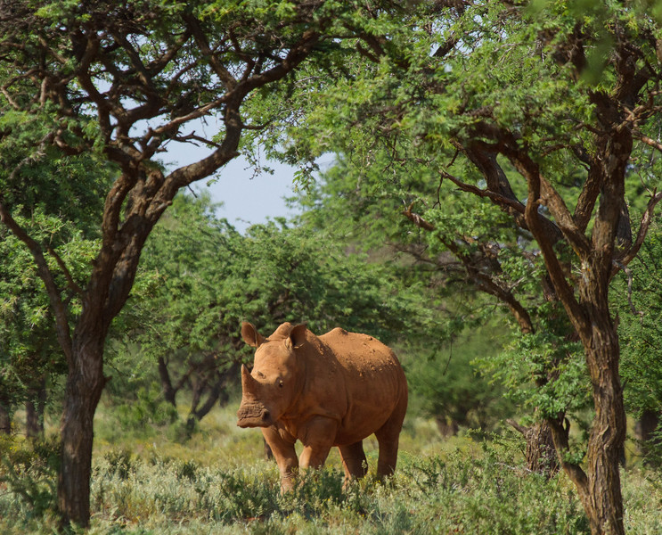 Dust-coated White Rhino in lowveld bush, South Africa