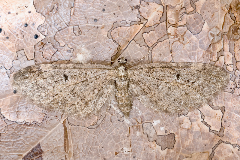 Grey Pug Moth