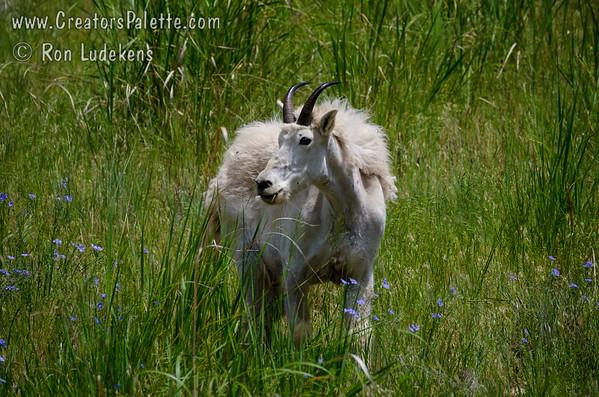 Mountain Goat - Rocky Mountain Goat (Oreamnos americanus)