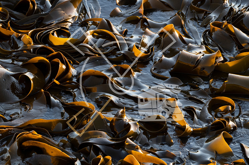 New Zealand kelp floating on the sea water at Shag Point, New Zealand.