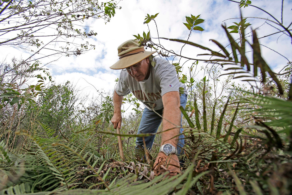 ". Jim Howard of Cooper City, Fla., searches under the dense foliage in the Florida Everglades looking for pythons as part of the ""Python Challenge.\"" The large snakes are an invasive species and are considered a menace to Florida\'s swamplands. (AP Photo/Wilfredo Lee)"