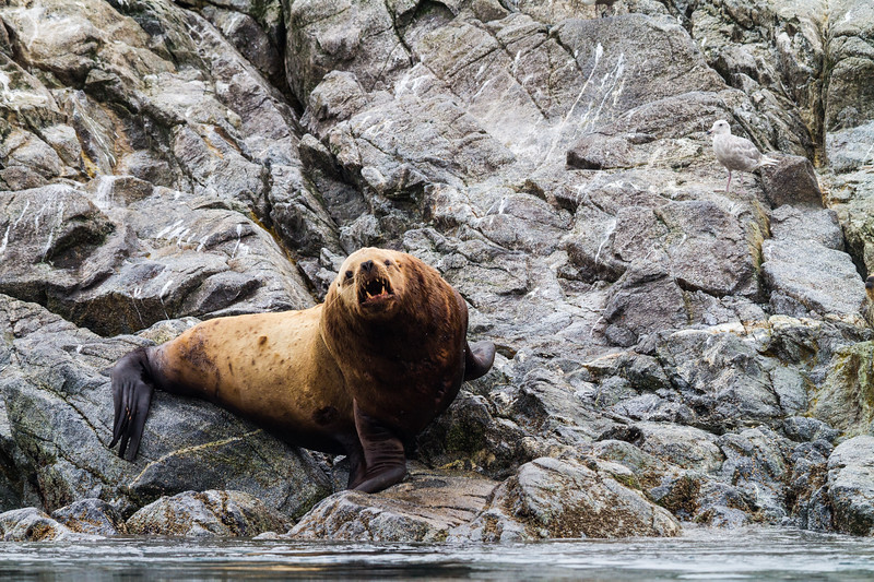 An angry looking stellar sea lion bull bares its teeth to passersby on a rocky shore, Alaska, USA