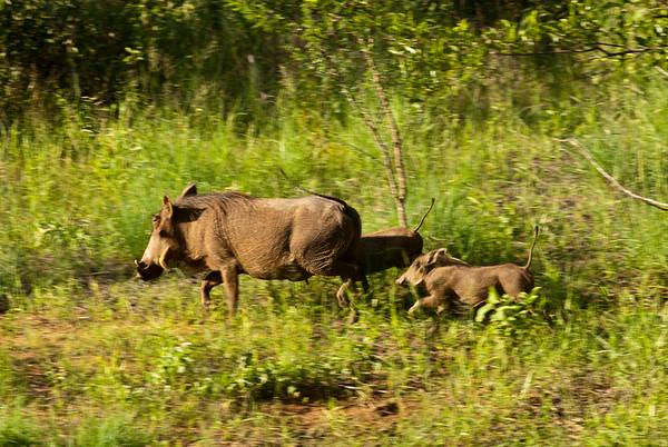 Warthog Family (3 Photographs)